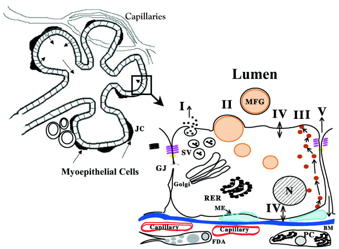 Mammary Physiology And Milk Secretion Sciencedirect