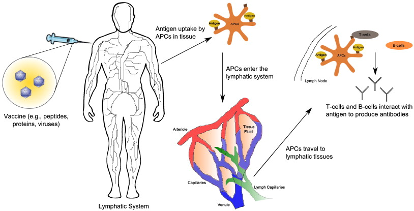 The role of the lymphatic system in vaccine trafficking and immune ...