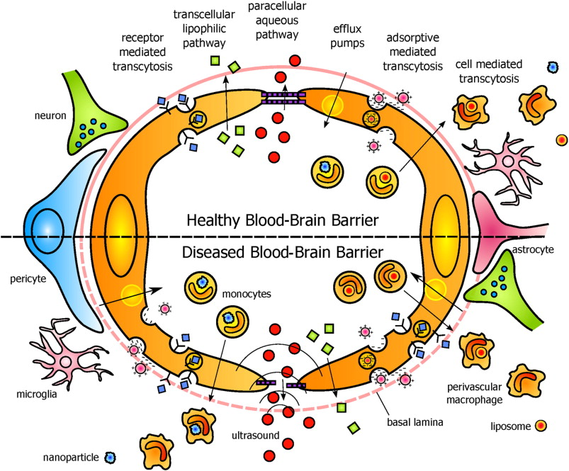 Modern methods for delivery of drugs across the blood–brain barrier ...