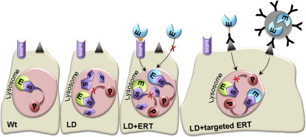 Lysosomal enzyme replacement therapies: Historical development, clinical  outcomes, and future perspectives - ScienceDirect