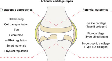 Articular Fibrocartilage Why Does Hyaline Cartilage Fail To