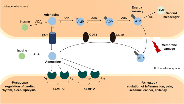 94bb52114c22 Adenosine and lipids  A forced marriage or a love match  - ScienceDirect