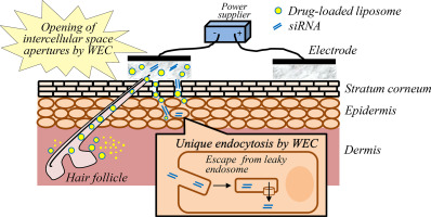 Noninvasive Transdermal Delivery Of Liposomes By Weak Electric Current Sciencedirect