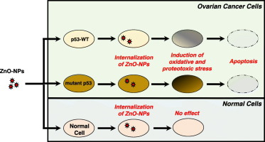 Zinc Oxide Nanoparticles Induce Oxidative And Proteotoxic Stress In Ovarian Cancer Cells And Trigger Apoptosis Independent Of P53 Mutation Status Sciencedirect