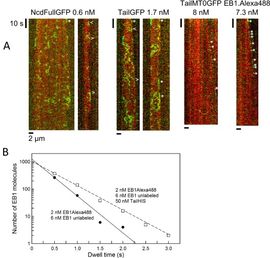 Insights into the process of EB1-dependent tip-tracking of