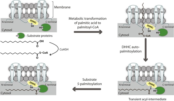 Emerging Roles of DHHC-mediated Protein S-palmitoylation in