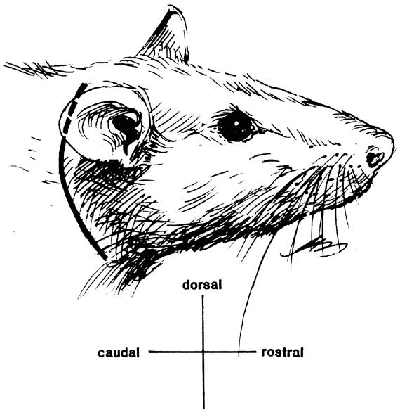 Surgical Anatomy Of The Rat Middle Ear Sciencedirect
