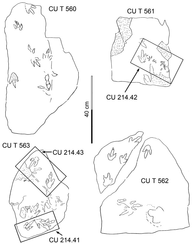 Upper Cretaceous Dinosaur Track Assemblages And A New Theropod
