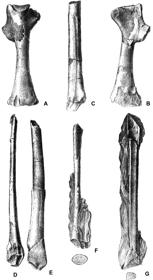Znalezione obrazy dla zapytania pterosaur bone wealden
