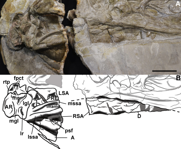 The cranial osteology of Concavenator corcovatus (Theropoda