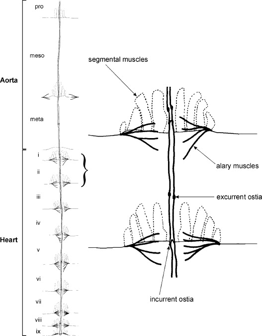 Peptidergic control of the heart of the stick insect, Baculum ...
