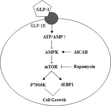 The Human Glucagon Like Peptide 1 Analogue Liraglutide Regulates