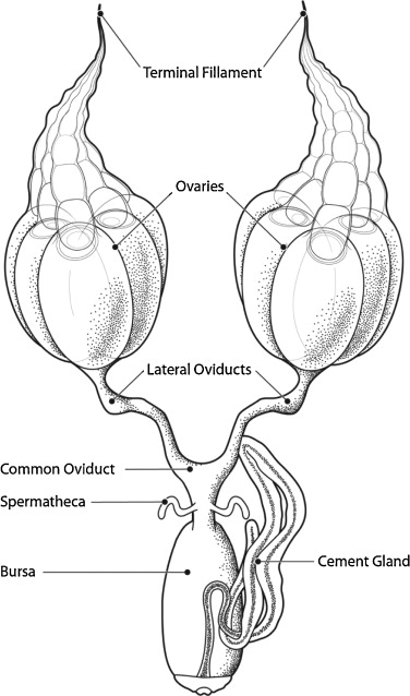 The female reproductive system of the kissing bug rhodnius prolixus gross anatomy of the female reproductive system of r prolixus ccuart Gallery