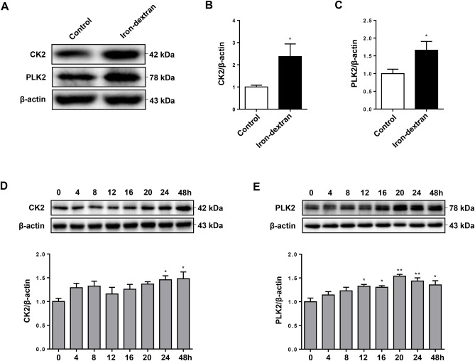 Iron-induced oxidative stress contributes to α-synuclein