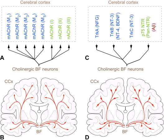 Drain of the brain: low-affinity p75 neurotrophin receptor