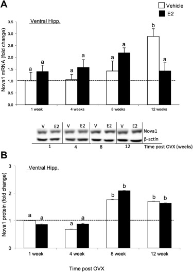 17 estradiol regulates the rna binding protein nova1 which then nova1 mrna and protein levels are altered by length of e2 deprivation in the sciox Choice Image