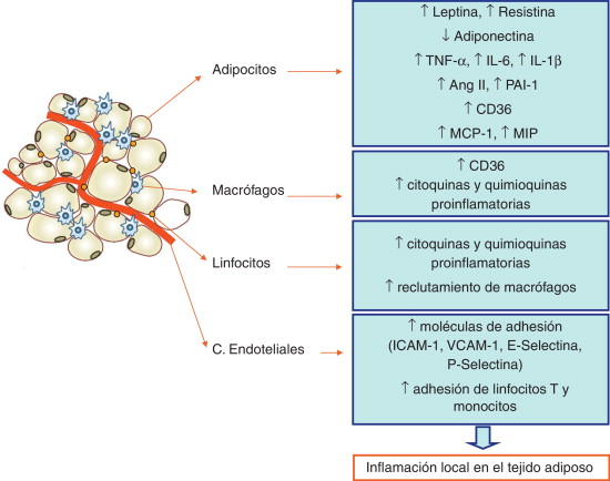 tejido adiposo organo endocrino