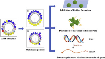 Two optimized antimicrobial peptides with therapeutic