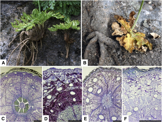 Phylogenetic Relationships In The Genus Lichtensteinia Apiaceae