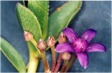 green purple flower seeds from ex Specks plants SEMI 5 Raphionacme madiensis