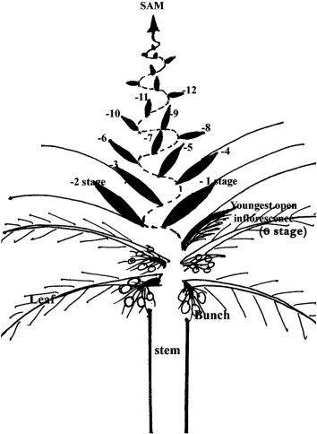 early inflorescence and floral development in cocos nucifera l Palm Tree Diagram download full size image