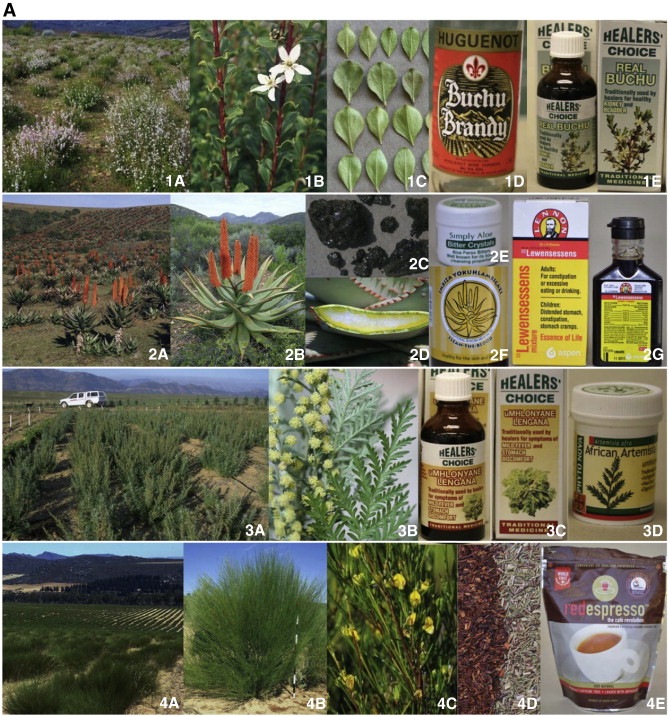 The potential of South African plants in the development of new