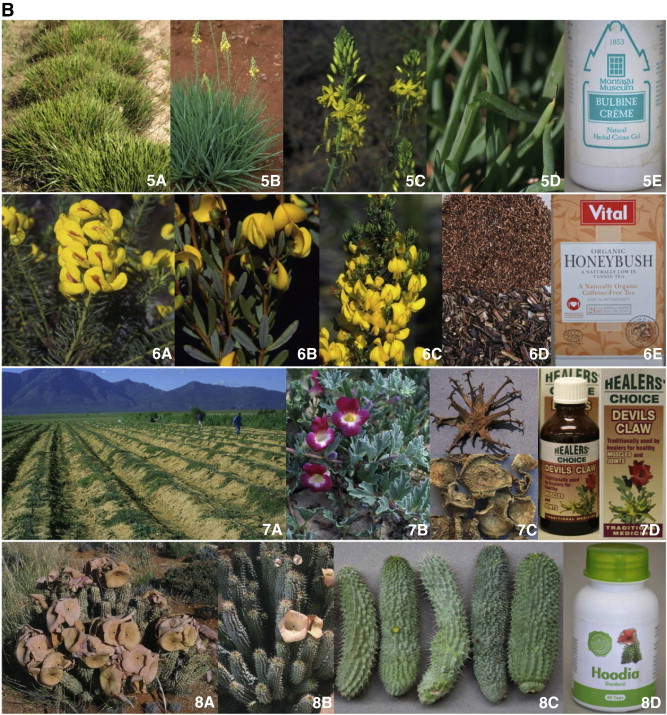 The potential of South African plants in the development of