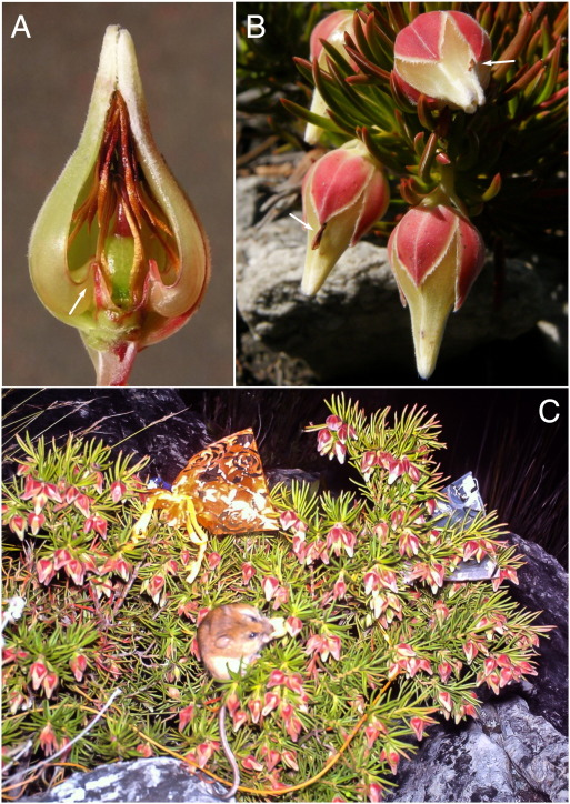 The Unusual Closed Flowers Of Erica Lanuginosa Ericaceae Are Adapted For Rodent Pollination And Not Cleistogamy Sciencedirect