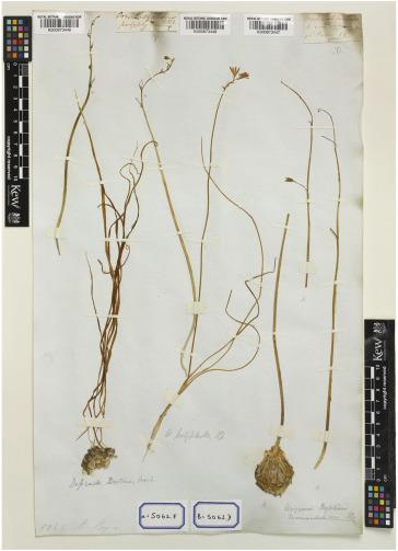 A cytotaxonomic revision of Drimia Jacq  (Hyacinthaceae