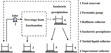 isolation of casein from milk by isoelectric precipitation