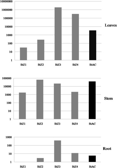 Differential distribution of phytoplasma during phyllody progression