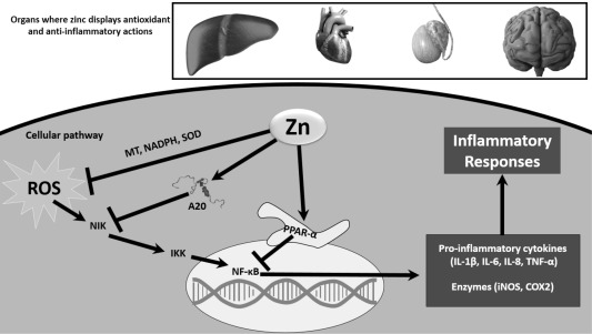 Dietary vs  pharmacological doses of zinc: A clinical review