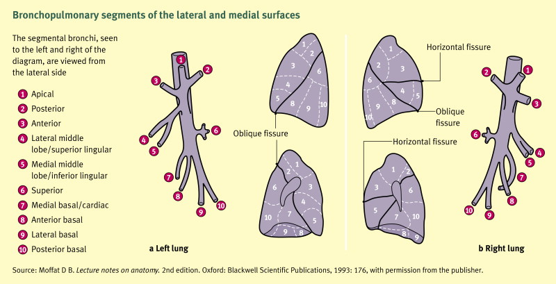 Anatomy Of The Post Laryngeal Airways Lungs And Diaphragm