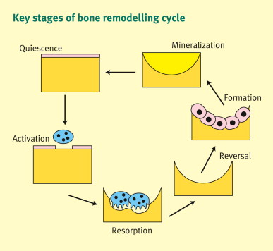 describe bone physiology and the bone remodeling cycle