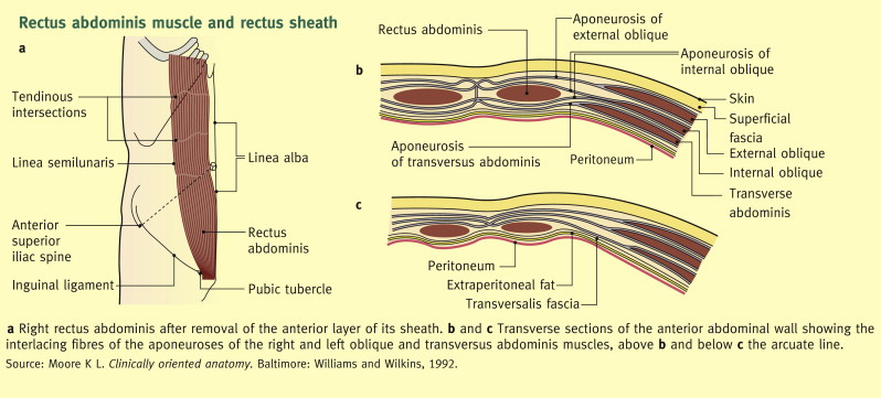 Anatomy Of The Anterior Abdominal Wall And Groin Sciencedirect