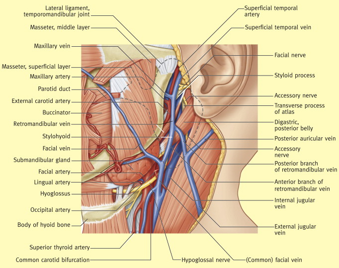 Anatomy Of The Salivary Glands Sciencedirect