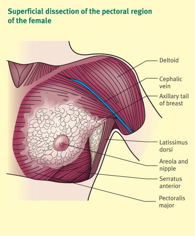 Anatomy And Physiology Of The Breast Sciencedirect