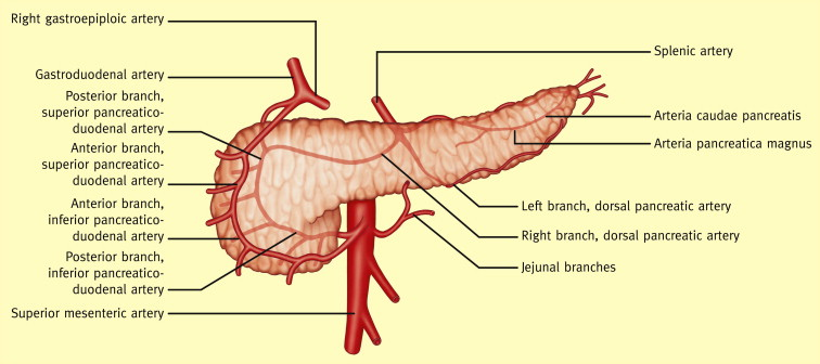Anatomy Of The Pancreas And The Spleen Sciencedirect