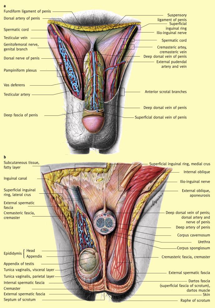 Scrotum Testis And Epididymis Sciencedirect