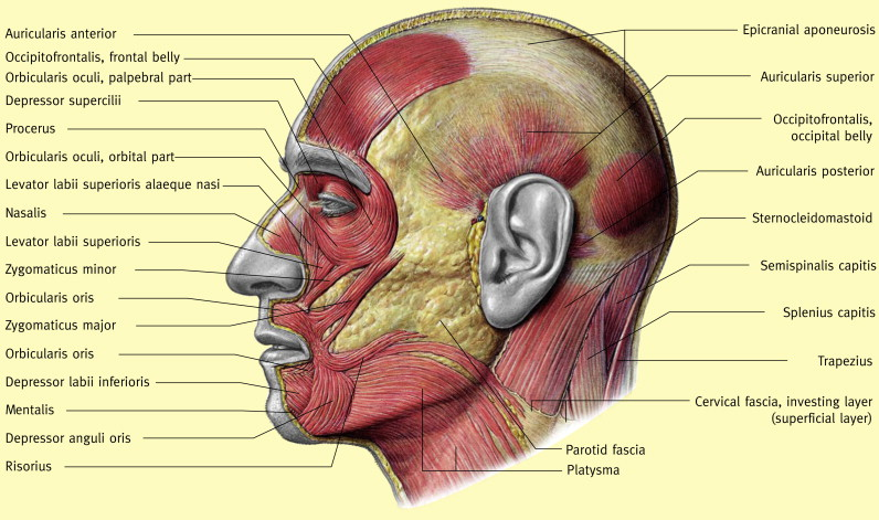 The Surgical Anatomy Of The Scalp Sciencedirect