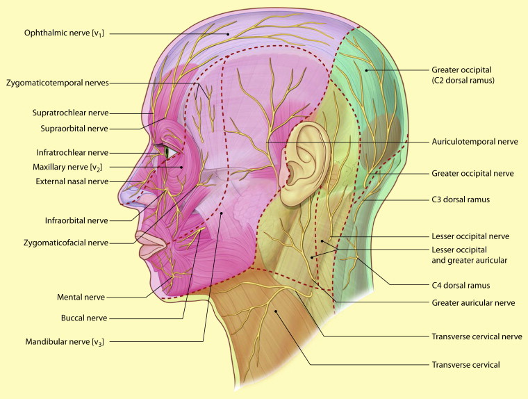 The surgical anatomy of the scalp - ScienceDirect