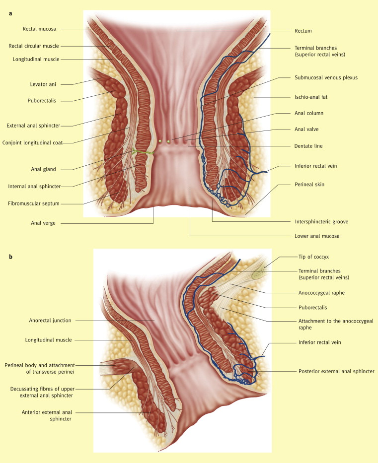 Anatomy Of The Rectum And Anal Canal Sciencedirect