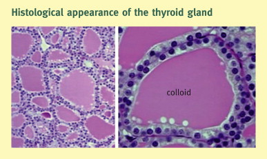 Physiology Of The Pituitary Thyroid Parathyroid And Adrenal