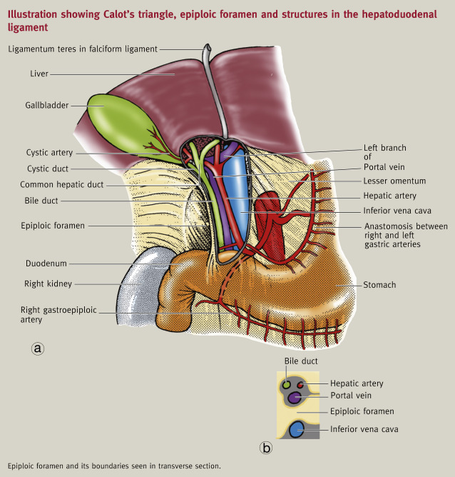 Anatomy Of The Gallbladder And Bile Ducts Sciencedirect