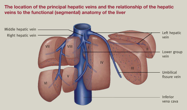 Anatomy of the liver - ScienceDirect