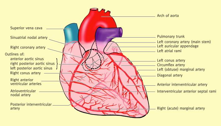 Anatomy Of The Heart Sciencedirect