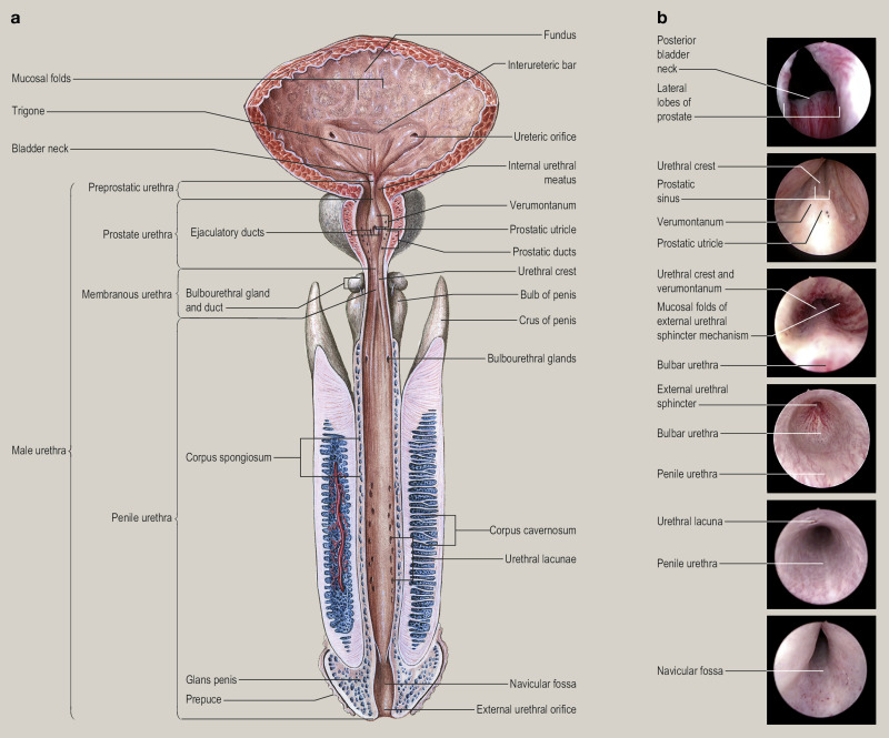 Anatomy Of The Lower Urinary Tract Sciencedirect