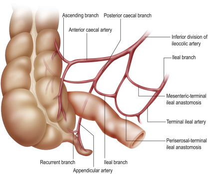 Anatomy Of The Caecum Appendix And Colon Sciencedirect