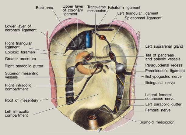 Anatomy of the small intestine - ScienceDirect