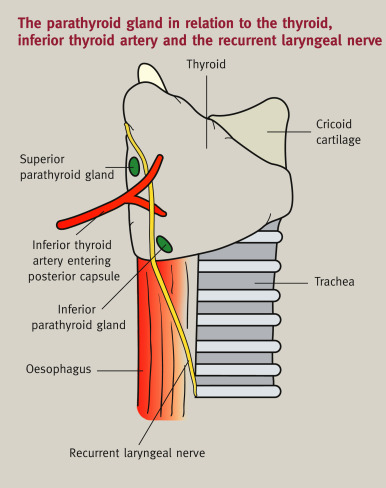 Anatomy Of The Thyroid Parathyroid Pituitary And Adrenal Glands Sciencedirect